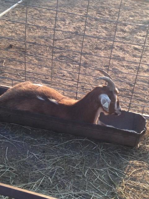 Goat in a trough