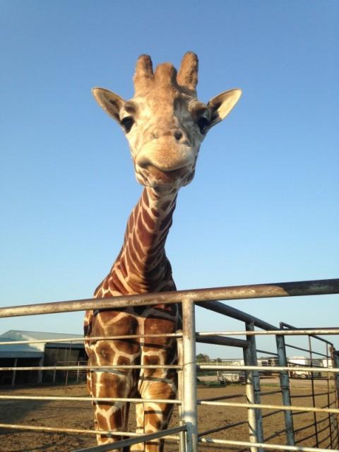 Hedricks Giraffe