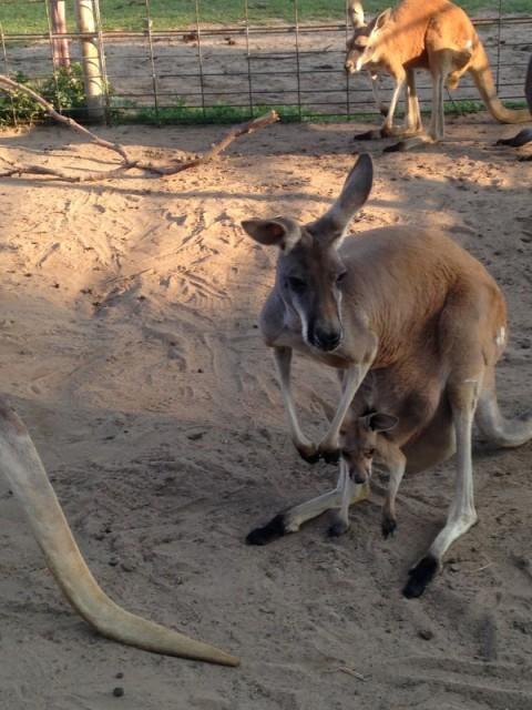 Hedricks-Kangaroo