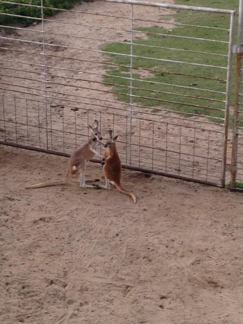 Kangaroos kissing