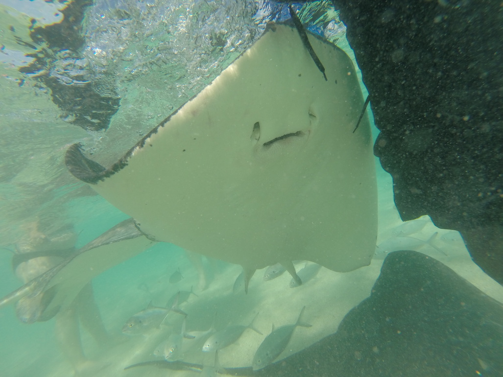 Swimming with the Stingrays in Antigua